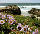 ocean rocky coast  with purple flowers
